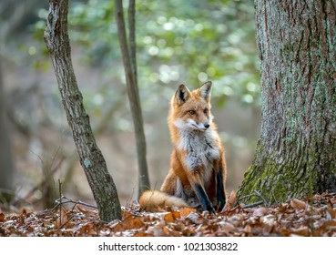 Wild Red Fox peeking around a tree in a Maryland forest duing Autumn
