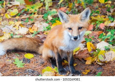 Wild red fox (Vulpes vulpes) begging for food on road. Autumn time in Algonquin Park, Ontario, Canada