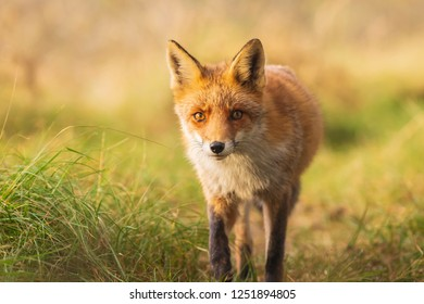 Wild red fox Vulpes Vulpes scavenging in a green meadow during sunset