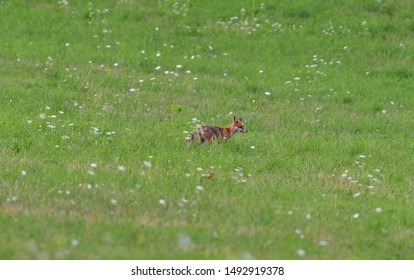 wild red fox walking on the meadow looking for food