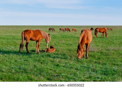 Wild red horse Mustangs in the field. The Mare raises on the leg of a newborn foal in the meadow.