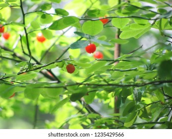 Wild Red Huckleberries