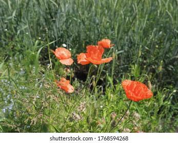 Wilde rote Papaver in der europäischen Goczalkowice Stadt im schlesischen Bezirk in Polen im Jahr 2020 warm sonnigen Frühlingstag im Juni.