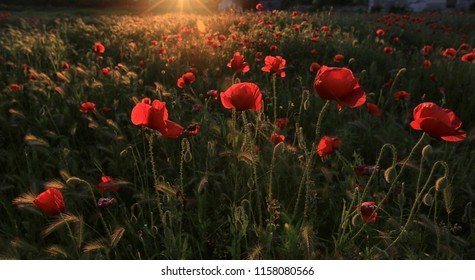 Wild red poppies blooming in a meadow at sunset