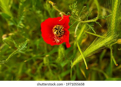 Wild red poppies. A grasshopper is sitting in a poppy flower. Close-up. Red flowers in green grass. Red petals. Asian poppies in spring. Green leaves of flowers. Green grass.