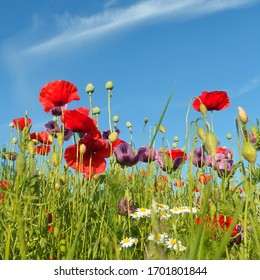 Wild red poppies (Papaver Rhoeas) at sunshine. Purple poppies, white flowers and blue sky in the background.