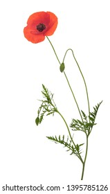 Wild red poppy flower, Papaver rhoeas, with long stem, buds and leaves, isolated on white background.