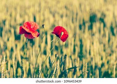 Wild red poppy flowers in a green field