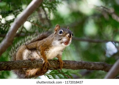 Wild Red Squirrel