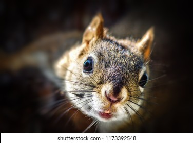 Wild Red Squirrel With Bokeh