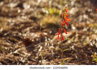 Wild red wilting skyrocket flowers at the north rim of Grand Canyon National Park.