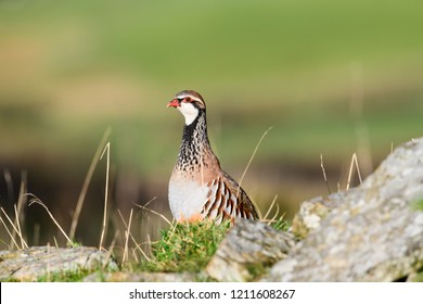 Wild Red-legged Partridge in natural habitat of reeds and grasses on moorland in Yorkshire Dales, UK.