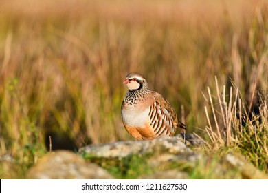 Wild Red-legged Partridge in natural habitat of reeds and grasses on moorland in Yorkshire Dales, UK