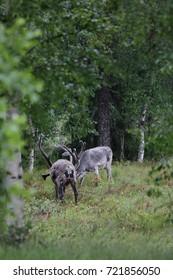 Wild reindeer grazing.