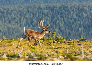 Wild reindeer male runs on mountain plateau in Urals, Pechora-Ilych State Biosphere reserve, Russia