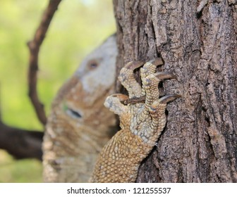 Wild Reptiles from Africa - A Monitor Lizard climbing a tree in Namibia.