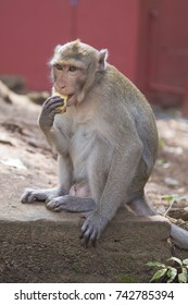 A wild rhesus monkey eats a banana in one of the provinces of Thailand