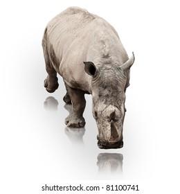 wild rhinoceros walking on a reflective surface