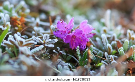 Wild rhododendron flower (Rhododendron camtschaticum) and plants in the tundra are covered with hoarfrost. Summer frosts in the Arctic. Delicate wildflowers. Nature of Chukotka. Siberia, Russia. June.