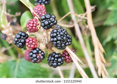 Wild Ripe Blackberries