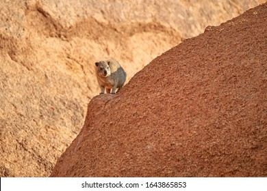 Wild Rock Hyrax, Procavia capensis on orange colored  granite rock, staring at camera. African wildlife experience during camping and hiking bald red granite rocks in Spitzkoppe park, Namibia.