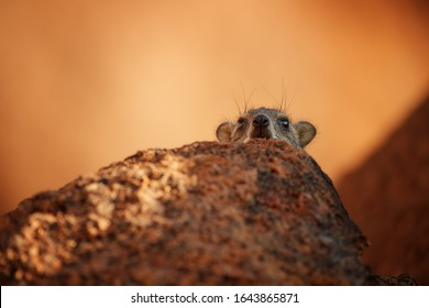 Wild Rock Hyrax, Procavia capensis, looking from behind the orange granite rock. African wildlife experience during camping and hiking bald red granite rocks in Spitzkoppe park. Traveling Namibia.