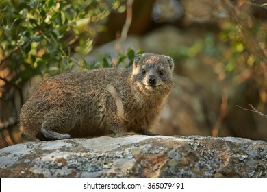 Wild Rock Hyrax Procavia capensis in its natural environment on rock staring directly at camera.Close up photo, rocks in background. Nice colorful light. Drakensberg, South Africa.