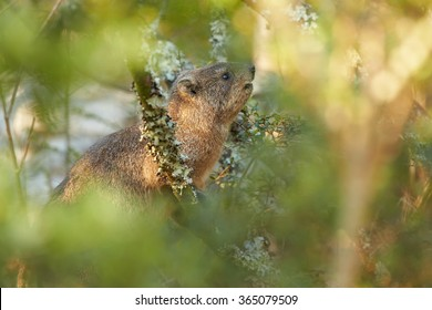 Wild Rock Hyrax Procavia capensis in its natural environment feeding on leaves.Close up photo, among blurred leaves. Nice colorful light. Drakensberg, South Africa.