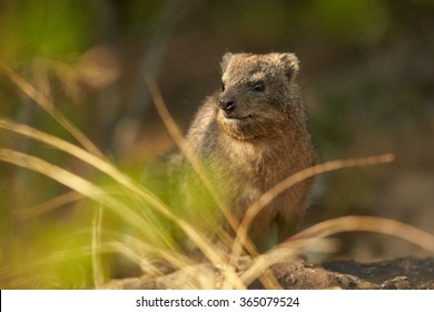 Wild Rock Hyrax Procavia capensis in its natural environment.Close up photo, blurred grass in foreground, rocks in background. Nice colorful light. Drakensberg, South Africa.