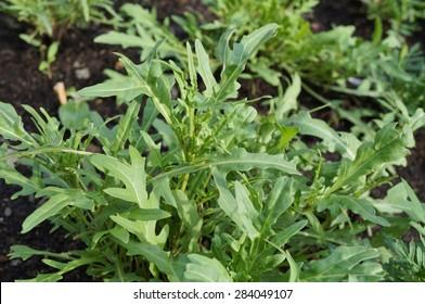 Wild rocket arugula salad growing in the garden