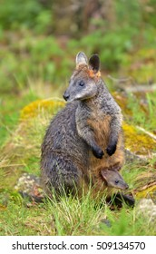 A wild Rock-wallaby mother and Joey near Jenolan Caves at the Blue Maountains of New South Wales, Australia