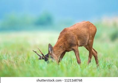 Wild roe buck grazing in a field
