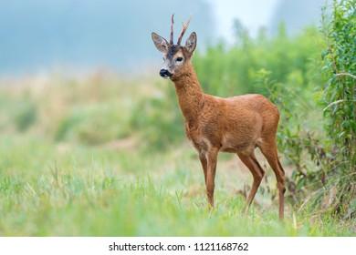 Wild roe buck standing in a field