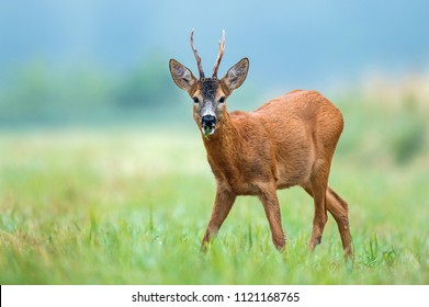 Wild roe buck standing in a field and eating
