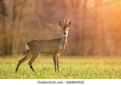 Wild roe deer in early morning