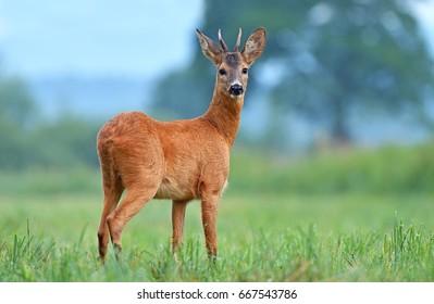 Wild roe deer in a field