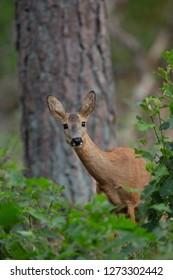Wild Roe Deer in national park The Hoge Veluwe.