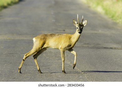 wild roe deerbuck / Capreolus capreolus