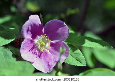 Wild rose in Alaskan forest