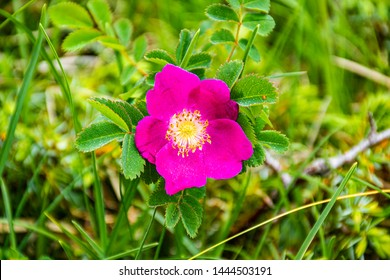 wild rose in in the beautiful mountains of Asiago, Italian Apls