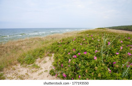 Wild rose blooming on the shore of the Baltic Sea, Curonian Spit, Lithuania