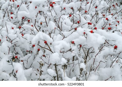 wild rose bushes are covered with fluffy snow