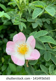 Wild rose in early summer