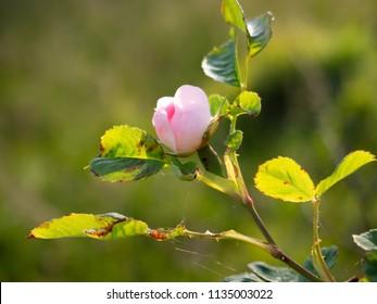Wild Rose Flower