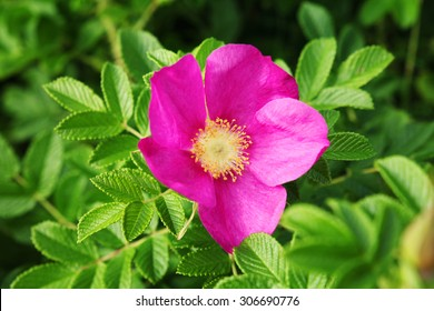 Wild rose flower.