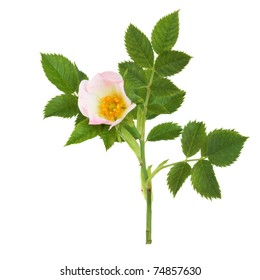 Wild rose in flower isolated over white background. Rosa acicularis