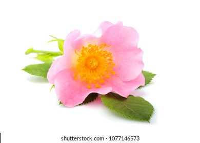 Wild rose flower with leaves isolated on white background.