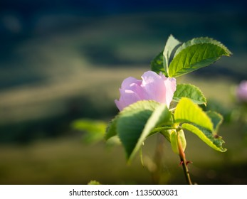 Wild Rose Flower at Mountains Background