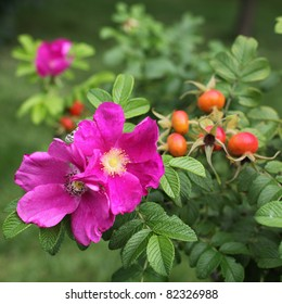 Wild rose: flowers and fruits