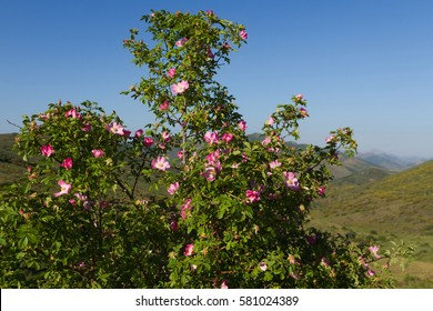 Wild rose with flowers (Rosa canina) with mountainous landscape background